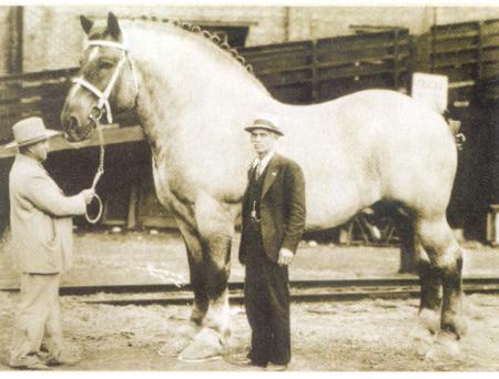 Sampson el caballo mas grande del mundo